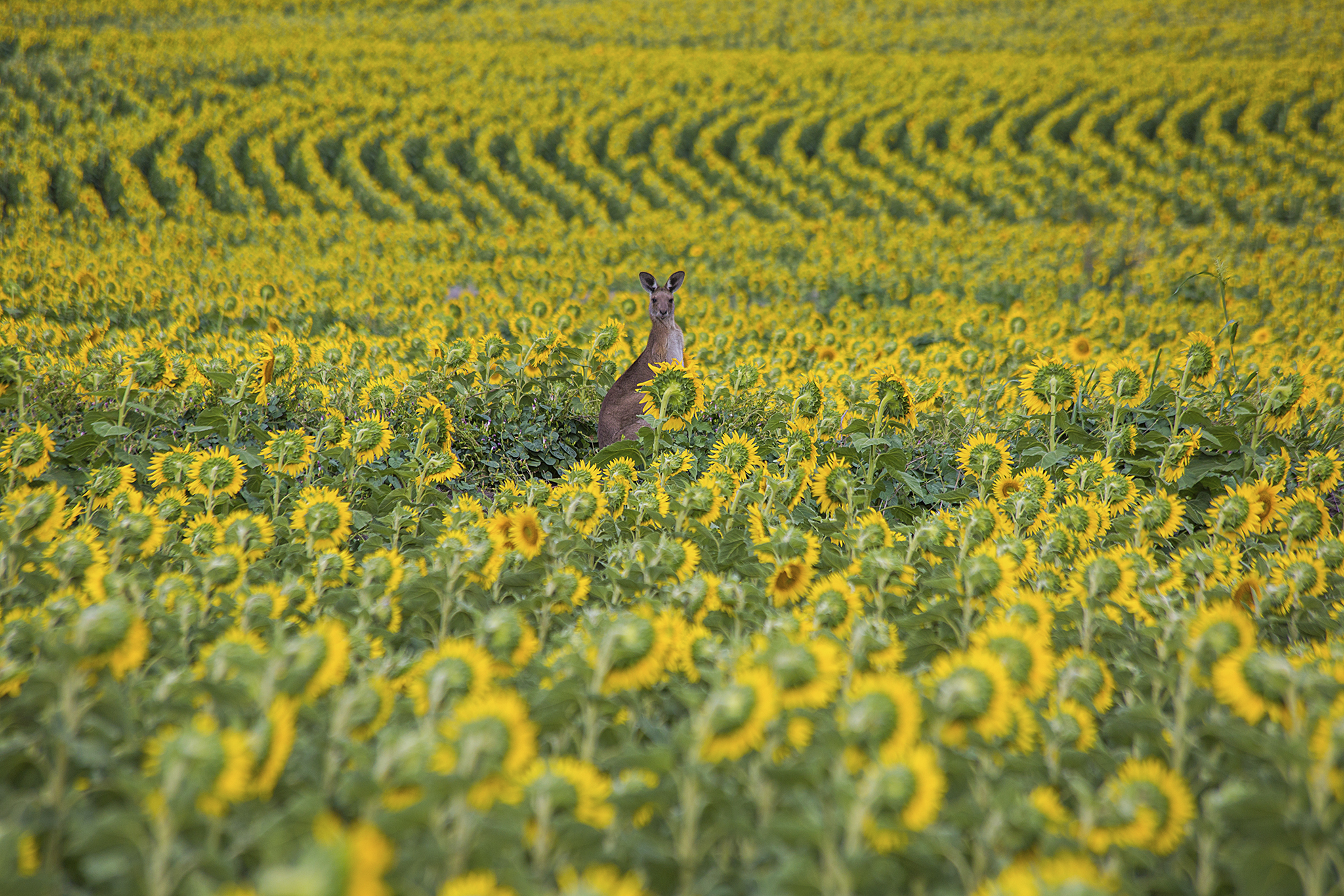 Kangaroo in Sunflowers