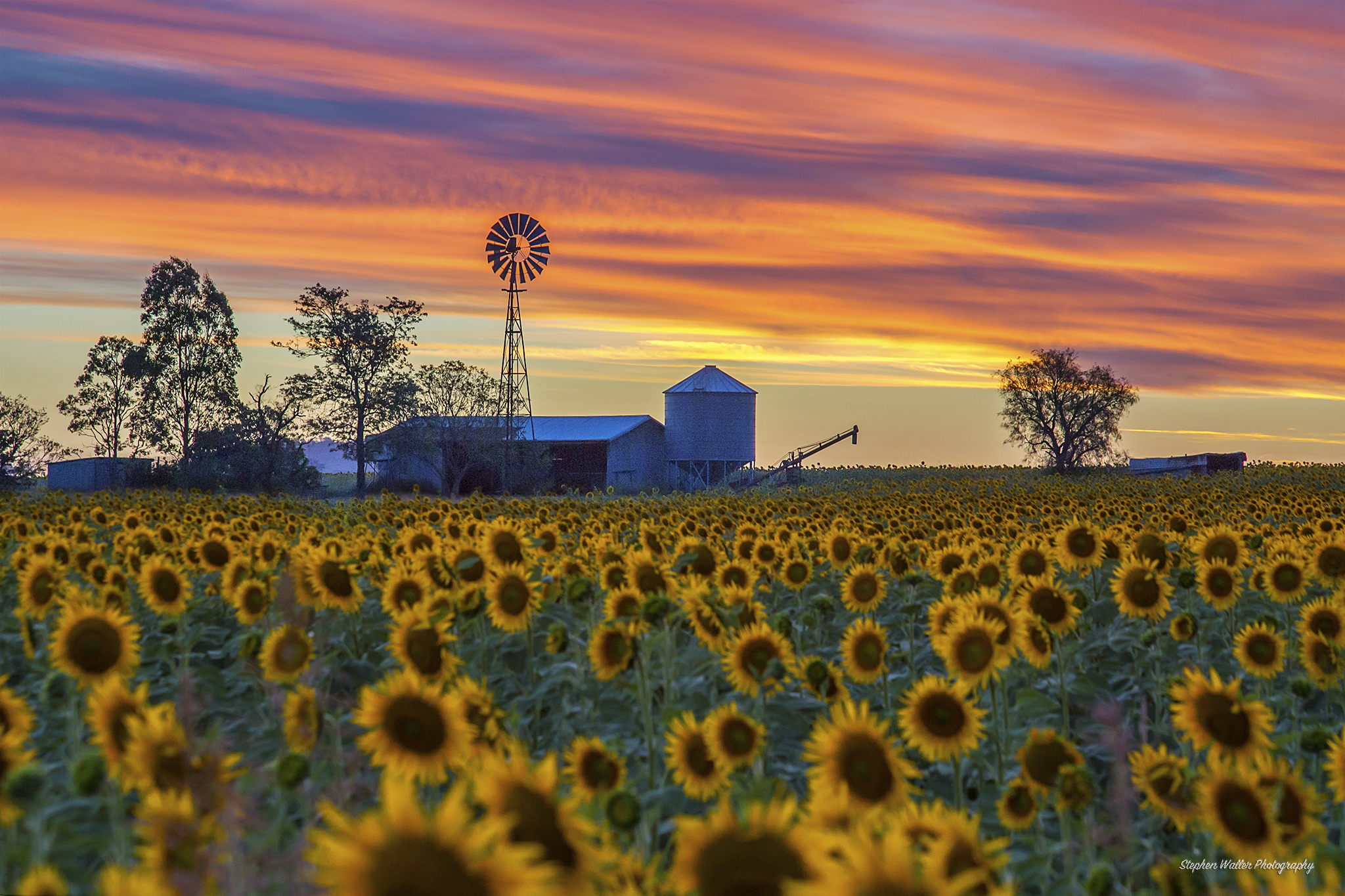 Sunflowers and Windmill at Sunset