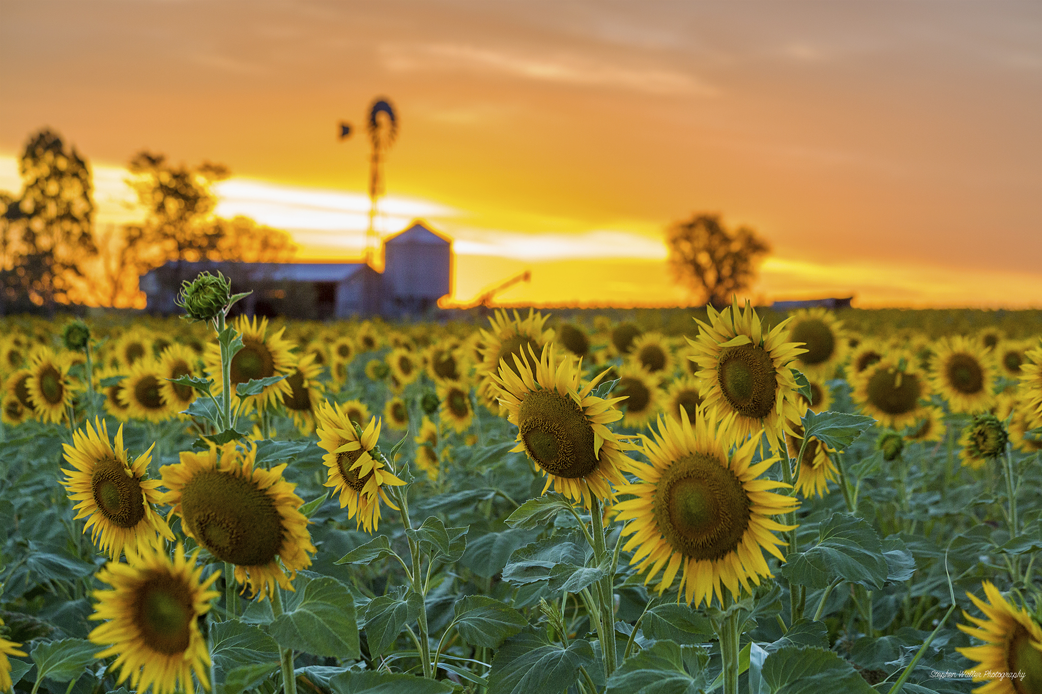 sunflowers_windmill01
