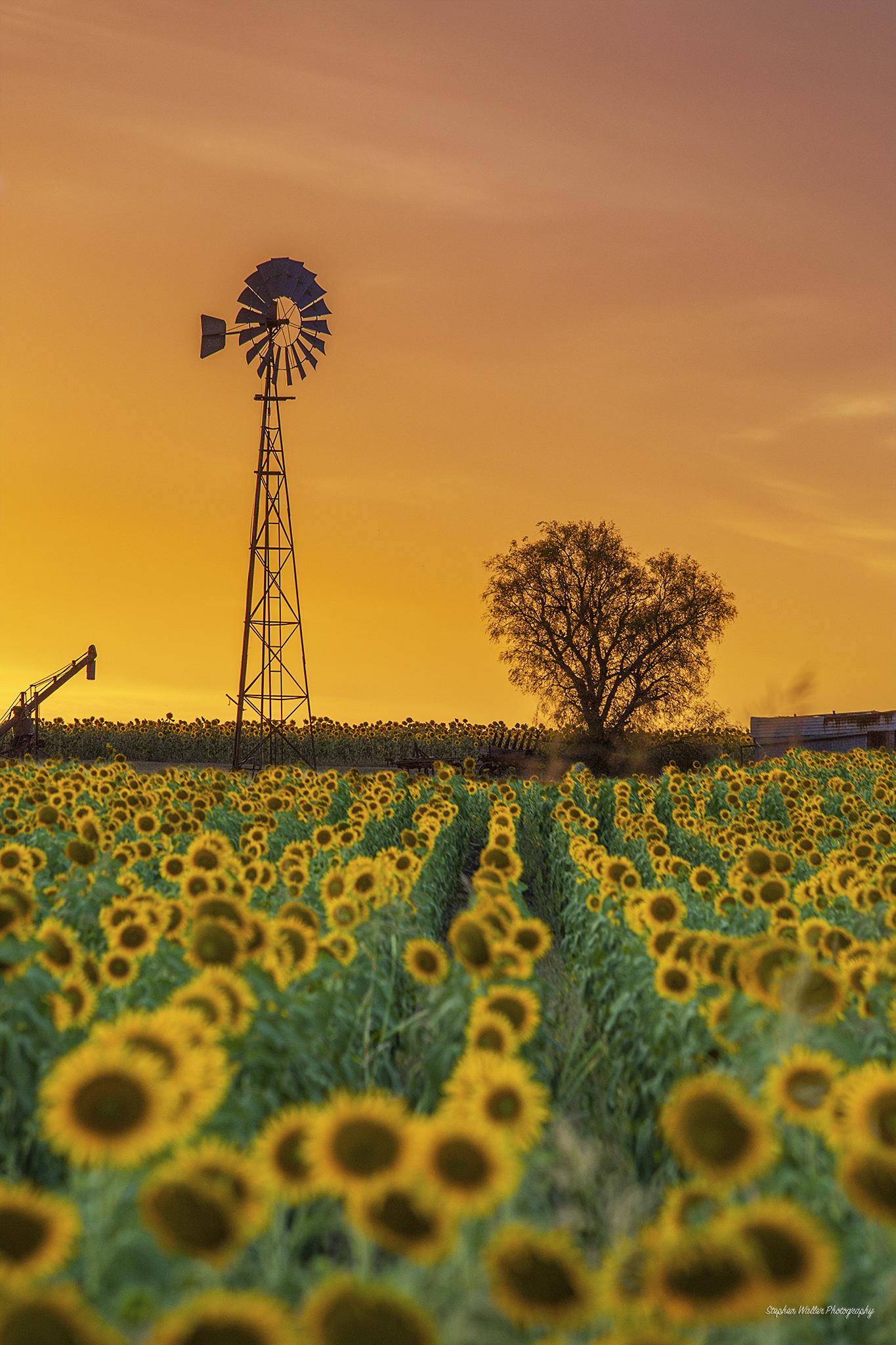 sunflowers_windmill04